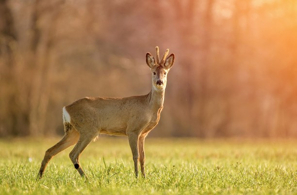 Wild roe deer in early morning light
