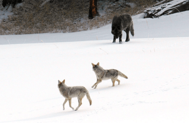 Wolf and Coyotea