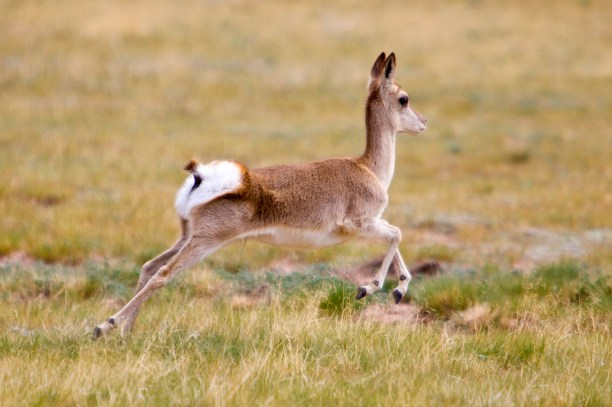 Tibetan Gazelle (Procapra picticaudata) running in the summer of China