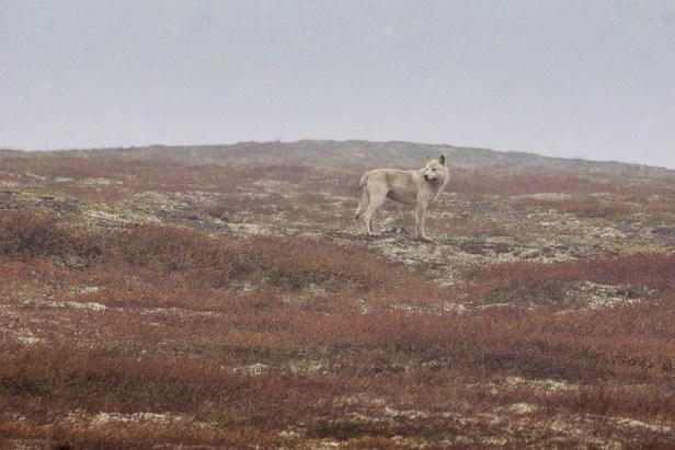 Wolf in Yukon