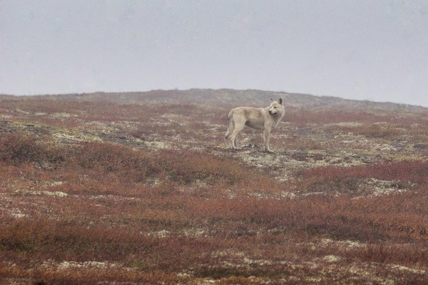Wild wolf high up north in the Yukon Territory.