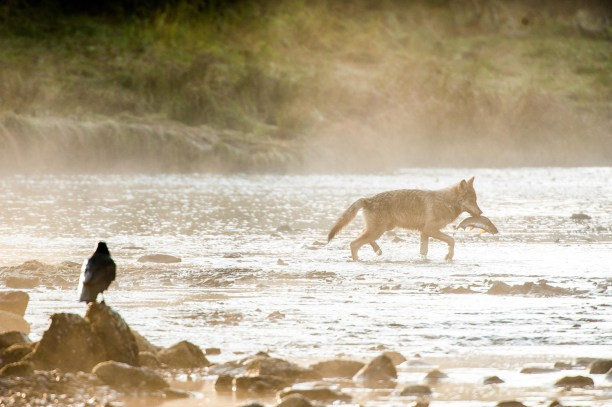 British Columbia Wolf (Canis lupus columbianus)A raven watches a young coastal wolf, Canis lupus, fishing for pink salmon, Oncorhynchus gorbuscha, in the early morning.
