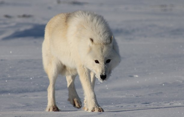 Greenland Polar Wolf / Arctic Today/ Daneborg Morten Petersen