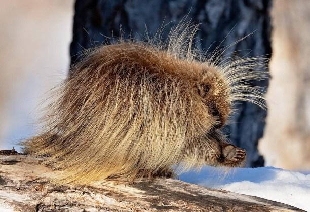 North American porcupine (Erethizon dorsatum) Packy Savennas/ greekmountainman.com
