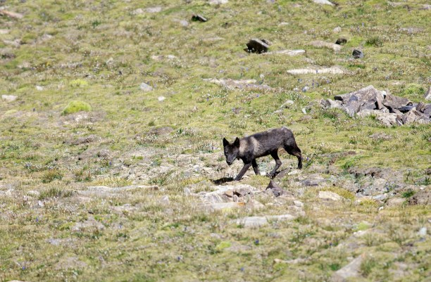 Rare Tibetan Wolf seen near Chang LA Pass, Ladakh,India