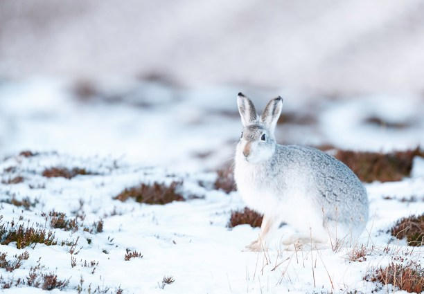 White mountain hare (Lepus timidus) sitting on winter snow.