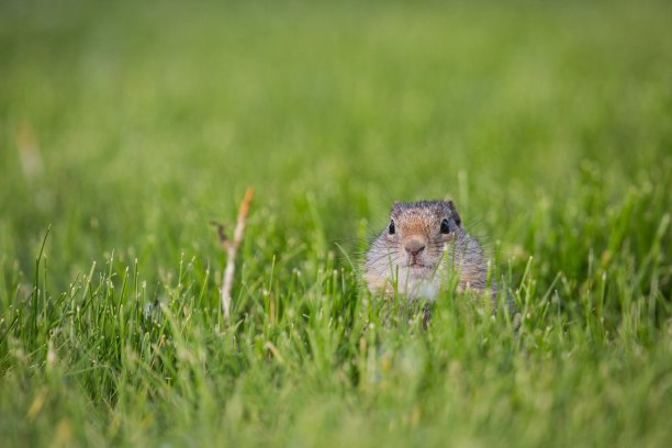 Uinta ground squirrels (UGS, Urocitellus armatus), Yellowstone National Park. National Park Service