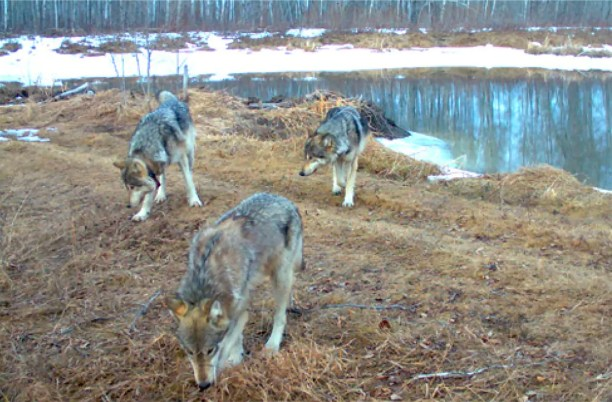 The gray wolves in Prince Albert National Park are monitored by GPS collars and trail cameras. (Parks Canada)