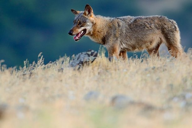 Eurasian grey wolf (Canis lupus) walking at a vulture watching site in the Madzharovo valley, Bulgaria