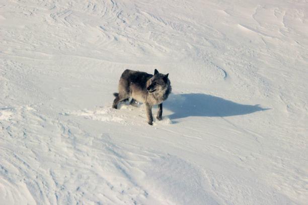Saskatchewan Boreal Wolf Project
