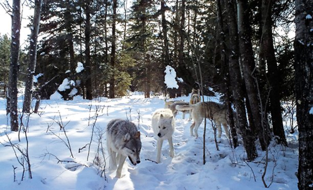 Trail Camera Footage From Riding Mountain National Park By Parks Canada