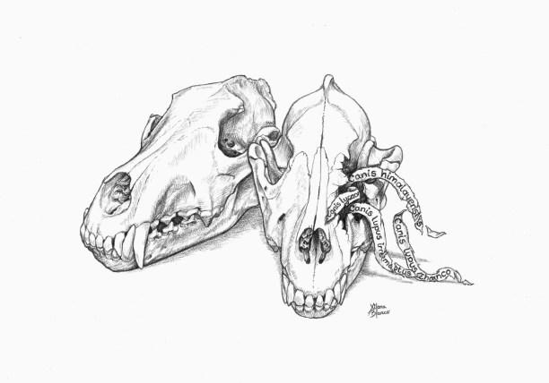 Wolf Skulls