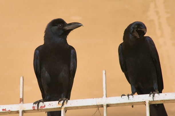 (Corvus Macrorhynchos) perched atop a fence in Bangkok, Thailand.