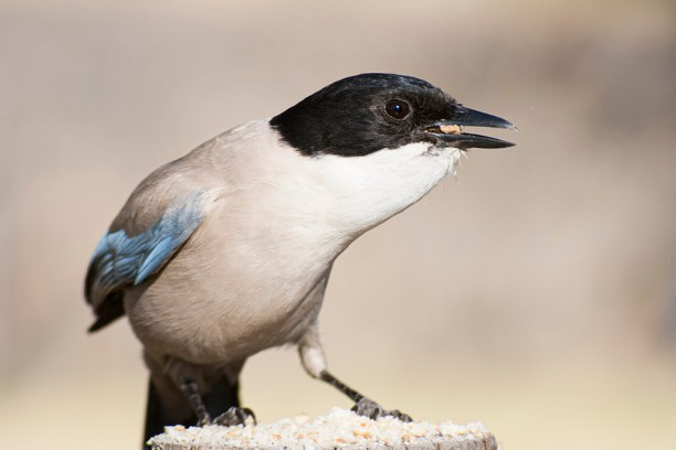 An Azure-winged magpie in the Monfrague National Park. Cyanopica cyanus. Cyanopica cyanus