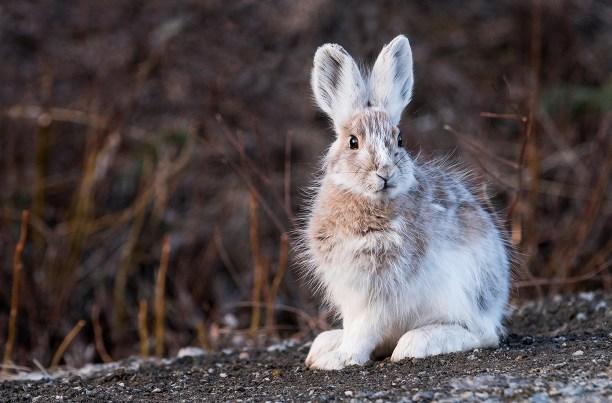 Snowshoe (Varying) Hare; Spring; Denali National Park; Alaska