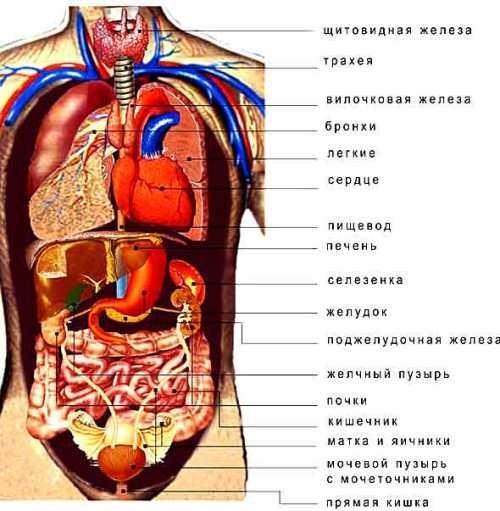 строение внутренних органов человека в картинках