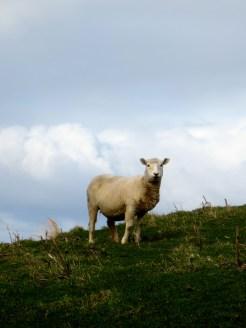A Sheep Friend