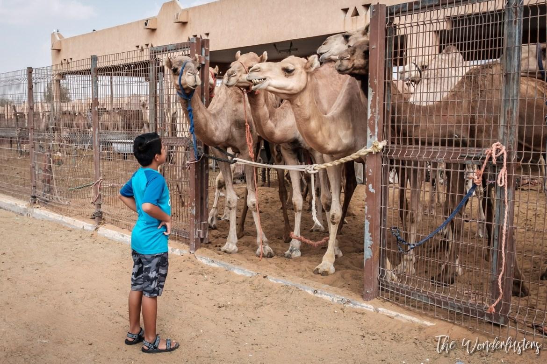 Al Ain Camel Souk