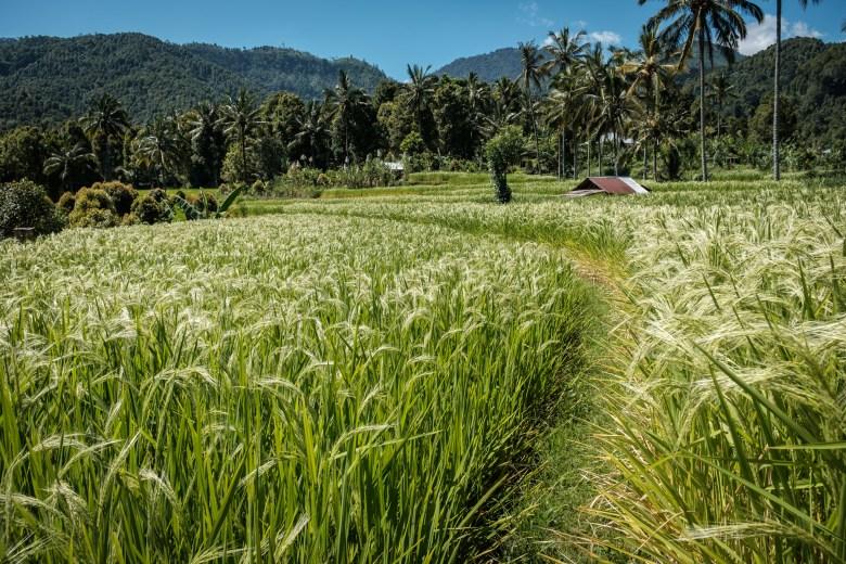 Indonesia Munduk 082