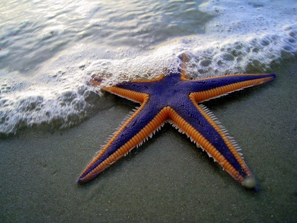 Purple Starfish wonderful piece of nature posted by nadeem