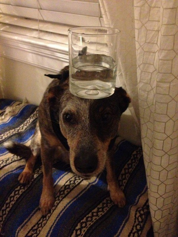 Glass of water on the Head of Jack Dog