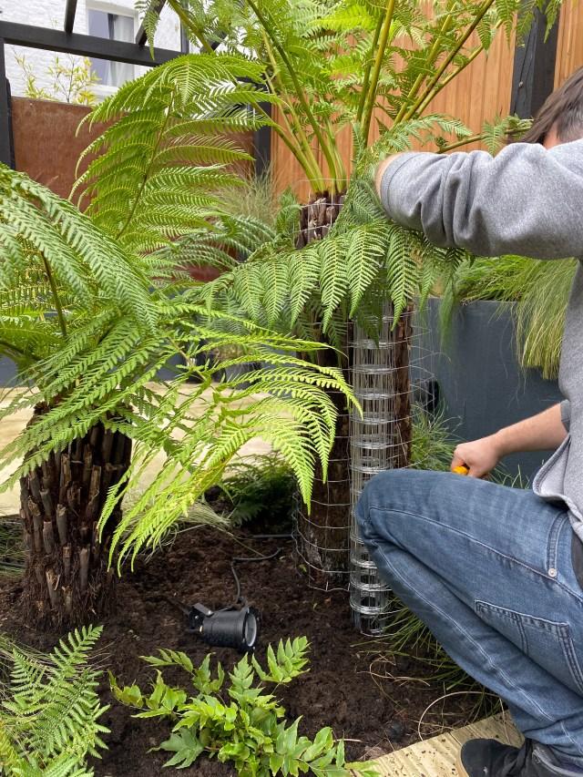 Everything you need to know about growing tree ferns.