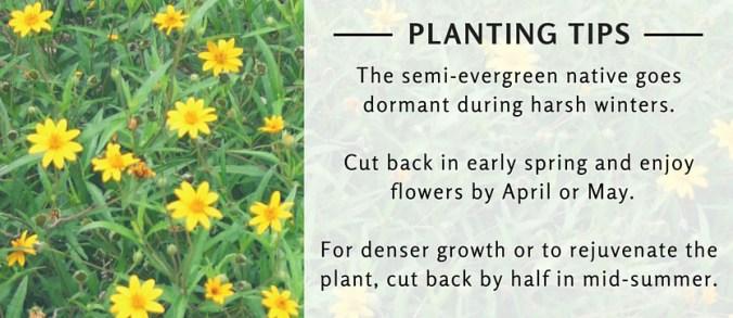 Wedelia Planting