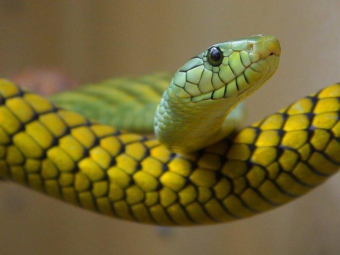 snake-3237