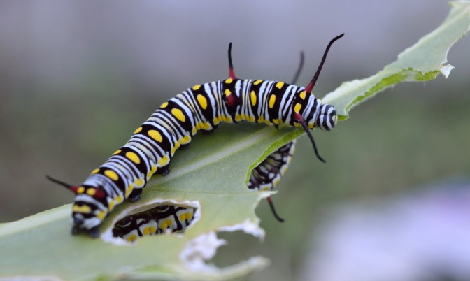 The queen caterpillar like the monarch, only feeds on milkweed.