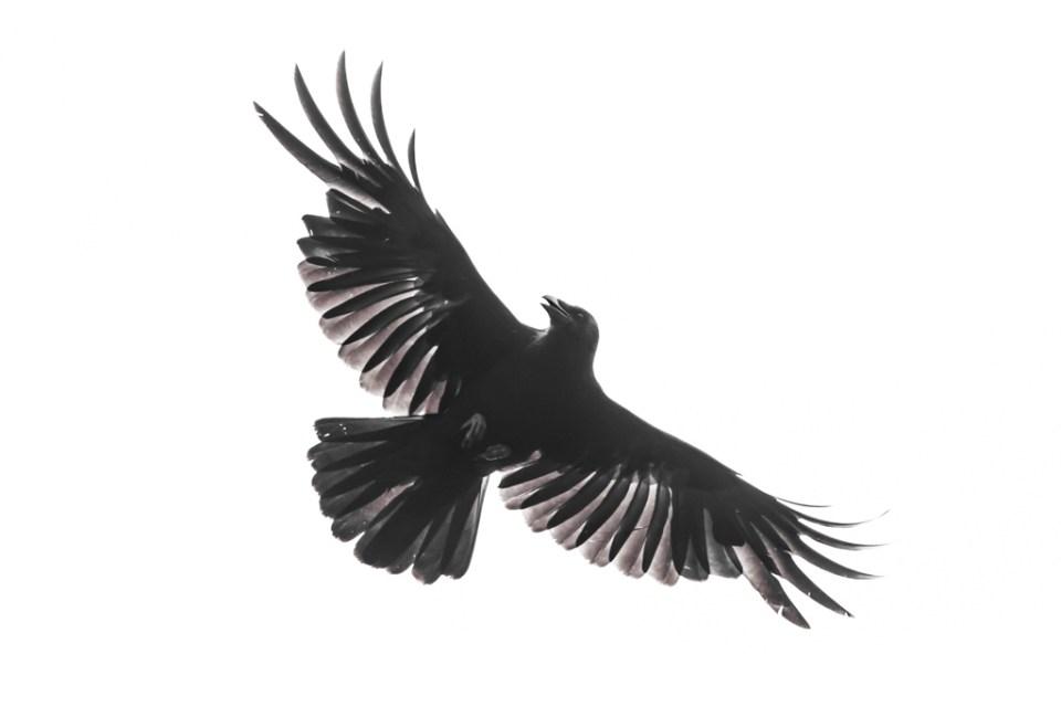 Carrion Crow by Reto Fürst