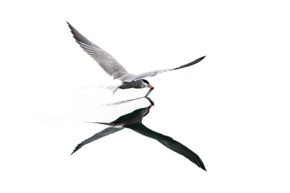 Common Tern by Reto Fürst