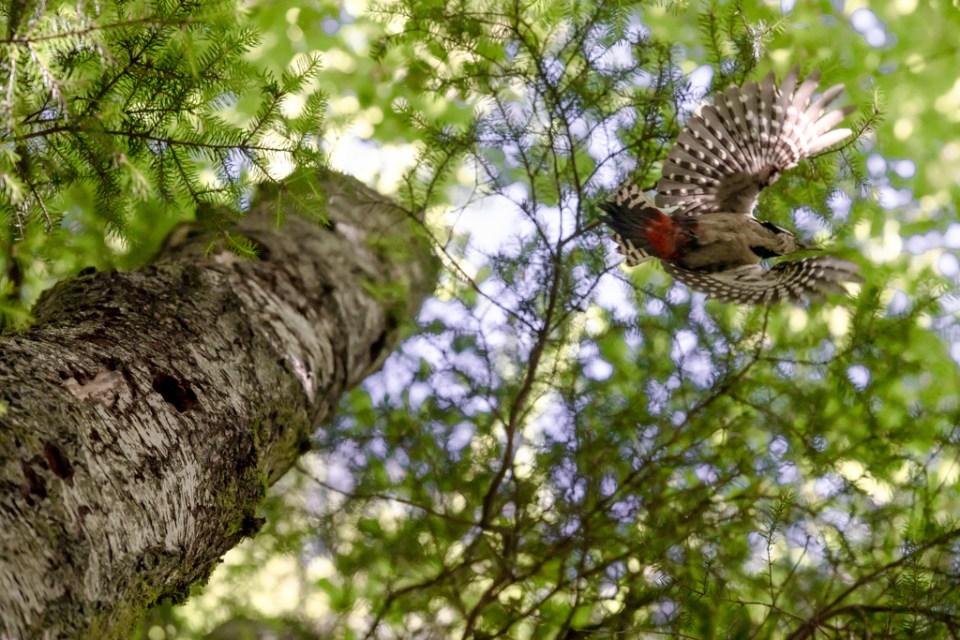 Great Spotted Woodpecker Flying by Reto Fürst