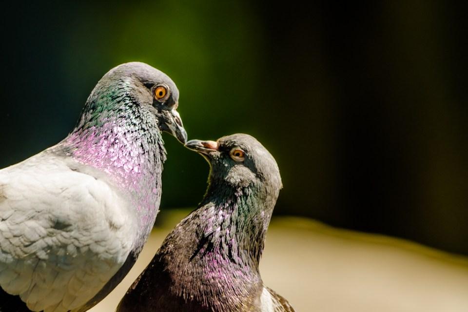 Pigeon by Reto Fürst