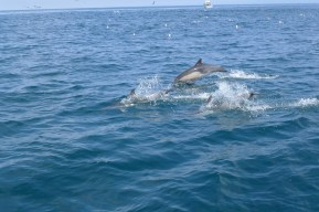 Long-beaked common dolphins leaping in and out of the water.