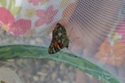 A Painted Lady butterfly prepares to fly away.