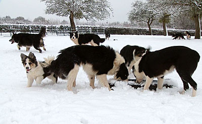 Sheepdogs drinking icy water in the snow