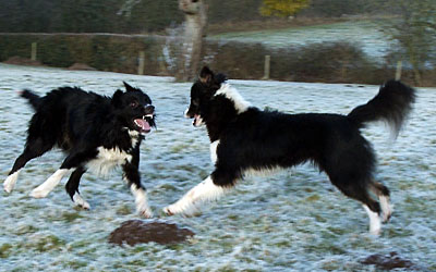 Border Collie Sheepdogs playing on a frosty field