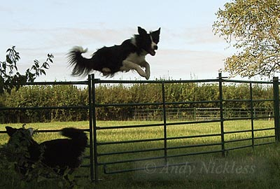 Border Collie Sheepdog Mo jumping the sheep hurdles.