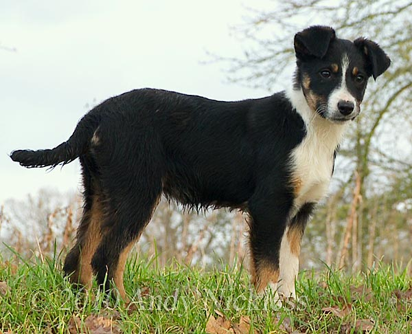 Border Collie Sheepdog puppy for sale
