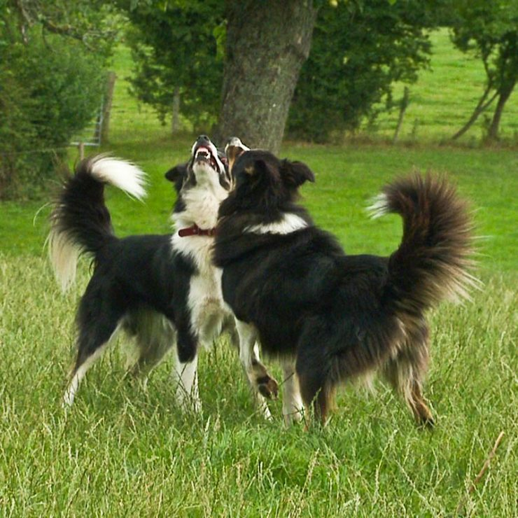 Two border collies apparently about to fight - but are they?