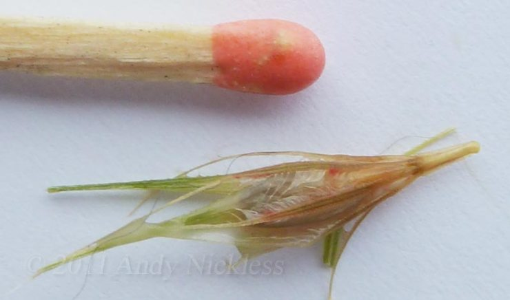 The offending grass seed alongside a match (for size comparison).