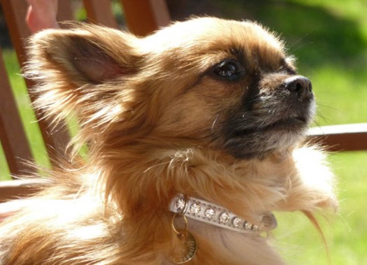 Red, long coated Chihuahua dog wearing stylish diamong studded collar