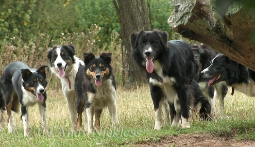 An assorted group of smooth and rough coated Border collies