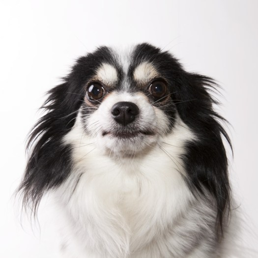 Chester the Papillon doesn't enjoy having his photograph taken