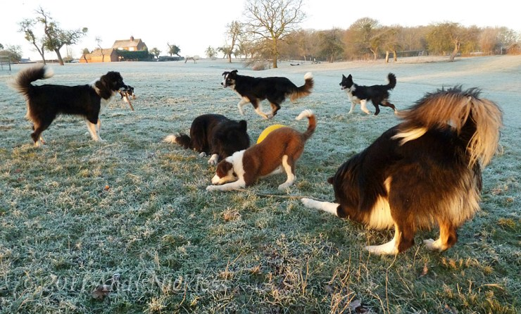 Sheepdogs and puppies relaxing with a buoy on a rope in the early morning frost