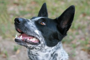 Bella is a smooth coated border collie