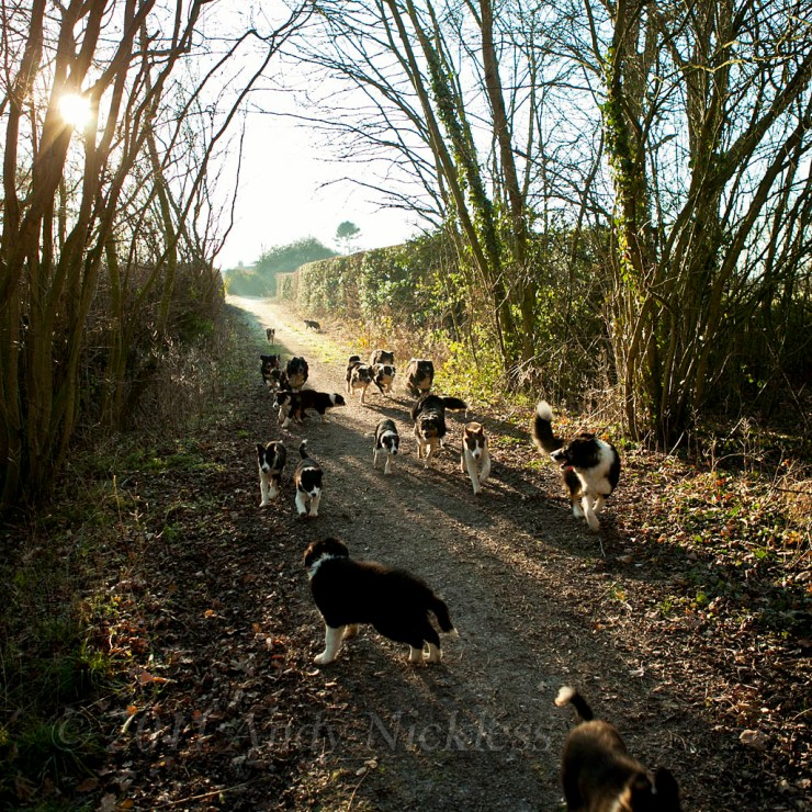 Some of the collie sheepdogs running along the bridleway in the morning sunlight