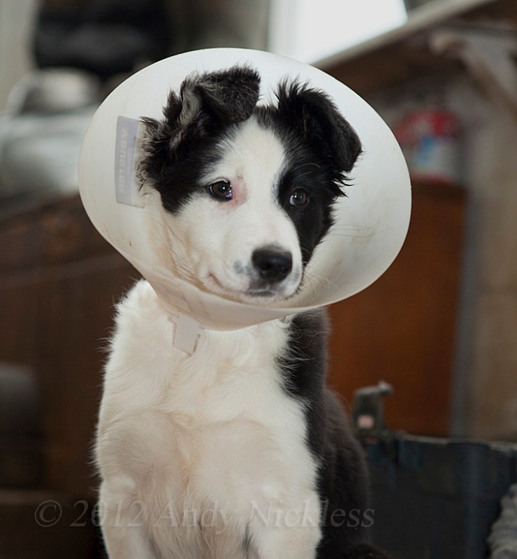 Black and white border collie puppy showing how a Buster collar should be worn