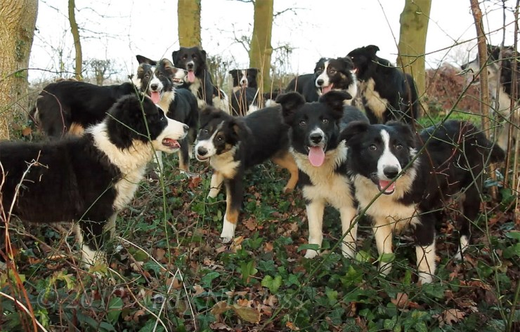 Group of approximately thirteen Border Collie sheepdogs and puppies all facing the camera