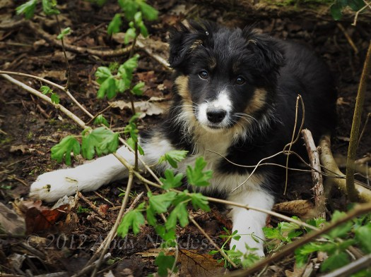 Beautiful tricolour collie bitch puppy, relaxing in the woods
